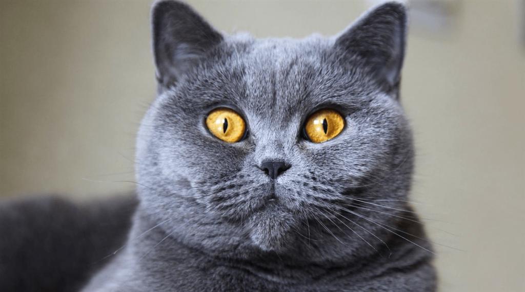 British Shorthair Kedi Irkı Ile İlgili Bilgiler